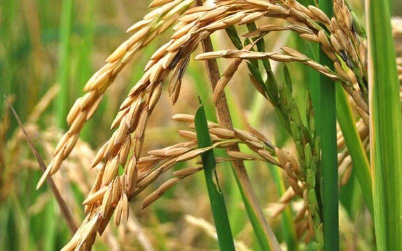 Inspeccionan siembras de arroz y garantizan producción en Guárico
